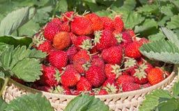 被会集的草莓在庭院里 图库摄影