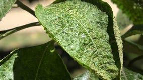 被传染的植物,害病的叶子,叶子,自然 股票录像