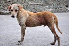 被伤害的狗 库存图片