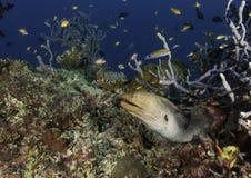 被伪装的在珊瑚和植物中掩藏的鱼和群在马尔代夫的水域中 免版税图库摄影
