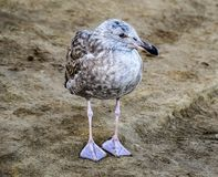 被伪装的少年海鸥 免版税库存图片