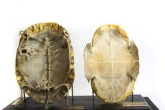 被保存的草龟的骨骼 库存照片