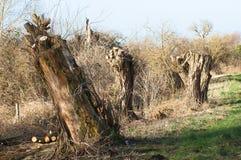 被修剪树枝的杨柳 免版税库存图片