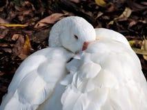 被偎依的柔软的鹅 免版税库存照片