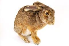 被充塞的兔子动物标本剥制术 免版税库存图片
