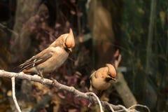 被充塞的太平鸟或Bombycilla cedrorum在博物馆 免版税库存图片
