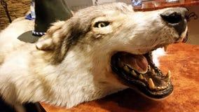 被充塞的狼的眼睛 库存照片