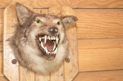 被充塞的狼的头 库存图片