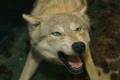 被充塞的狼 库存图片