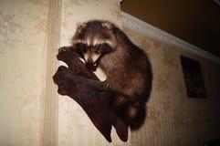 被充塞的獾 免版税库存图片