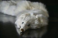 被充塞的皮大衣白狐 库存图片