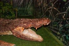 被充塞的鳄鱼 沙捞越 自治市镇 马来西亚 图库摄影