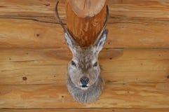 被充塞的鹿顶头垂悬在木墙壁上 免版税图库摄影