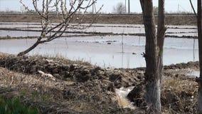 被充斥的杏仁种植园在乌兹别克斯坦 股票录像