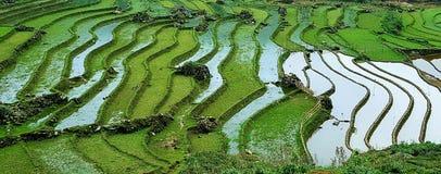 被充斥的米领域在越南 免版税图库摄影