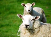 被克隆的绵羊 免版税库存图片