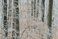 被冰的冬天森林 免版税库存照片
