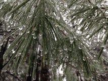 被冰的杉木针 库存图片