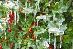 被冰的霍莉灌木  免版税库存照片