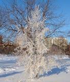 被冰的结构树 库存图片
