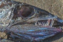 被冲上岸的帆蜥鱼遗骸 免版税库存照片