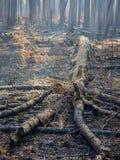 被击倒的树在受控烧伤以后的一个被烧焦的森林里 库存照片