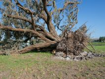 被击倒的橡树和它的根 免版税库存照片