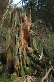 被分解的杉树树桩在杉木森林里,死的木头,青苔,生态 免版税库存图片