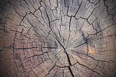 被切开的云杉的树桩纹理  免版税库存照片
