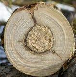 被切开的树干木纹理 免版税图库摄影