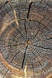 被切开的树干,特写镜头木纹理  显示树干的交叉年轮部分 图库摄影