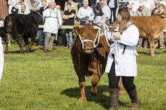 被判断的母牛 免版税库存图片