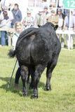 被判断的母牛 免版税库存照片