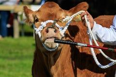 被判断的母牛 库存图片