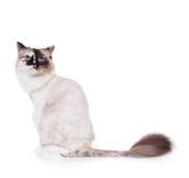 被刮的猫ragdoll 图库摄影