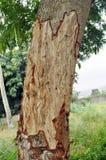 被剥皮的树 图库摄影