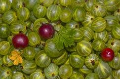 被剥皮的鹅莓 免版税库存照片