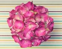 被剥离的表面上的一朵浅粉红色的八仙花属花 免版税库存图片