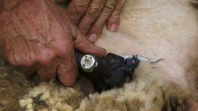 被剪的新西兰绵羊 股票录像