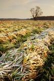 被割的麦子的冻结的领域在金黄日出的 图库摄影
