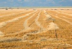 被割的麦子 免版税库存照片