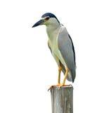 黑被加冠的夜苍鹭鸟 免版税图库摄影