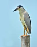 黑被加冠的夜苍鹭鸟 免版税库存照片
