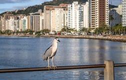 黑被加冠的夜鹭属和城市景色-弗洛里亚诺波利斯,圣卡塔琳娜州,巴西 库存图片