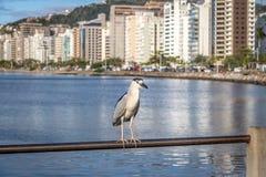 黑被加冠的夜鹭属和城市景色-弗洛里亚诺波利斯,圣卡塔琳娜州,巴西 免版税库存照片