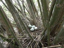 黑被加冠的夜鹭属巢 库存照片