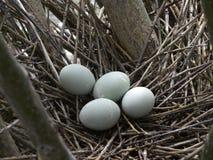 黑被加冠的夜鹭属鸡蛋 库存图片
