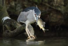 黑被加冠的夜鹭属, Nycticorax nycticorax狩猎 库存照片