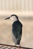 黑被加冠的夜鹭属 库存照片
