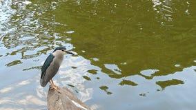 黑被加冠的夜鹭属 免版税库存图片